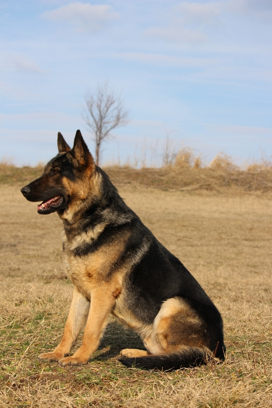 Argus-Executive Protection Dog