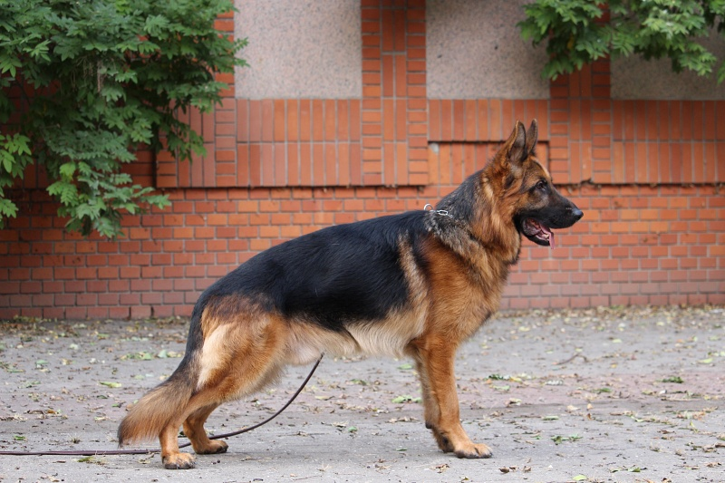 Gerri-Personal Protection Dog