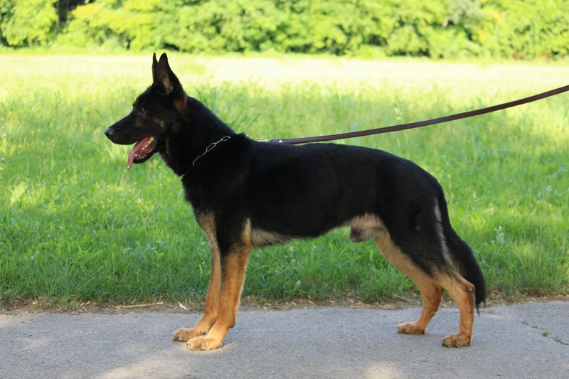 NOX-Personal Protection Dog